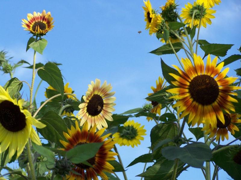 Sonnenblumen_Dornach